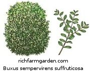 Buxus sempervirens suffruticosa Dwarf English Boxwood shrub plant