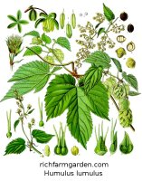 Hops Humulus lupulus medicinal culinary plant seeds