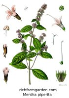 Mentha piperita Peppermint Candymint Brandymint plant seeds
