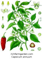 Capsicum annuum Chile pepper plant