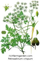 Parsley Petroselinum crispum Culinary plant