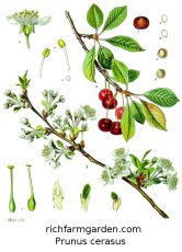 Prunus cerasus Cherry fruit tree seeds