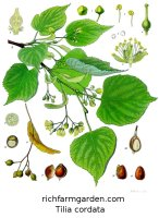 Tilia cordata Littleleaf Linden Lime Tree seeds