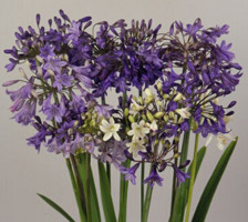 Agapanthus praecox Headbourne Blue African Lily