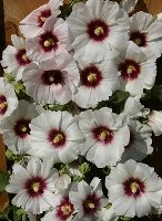 Hollyhock Alcea rosea Halo Blossom Snow white flower