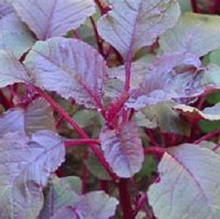 Calaloo All Red Leaf Vegetable Amaranth