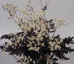 anthriscus sylvestris ravenswing black chervil dusky lace seed and plant