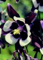 William Guinness Columbine aquilegia vulgaris