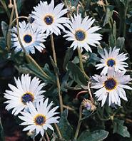 arctotis grandis african blue eyed daisy seed plant