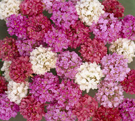 Armeria formosa Joystick Mix