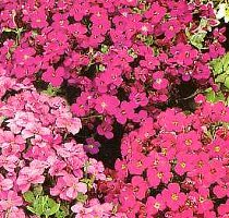 Aubretia grandiflora mix Rock Cress