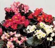 Bronze leaf mix BEGONIA annual flower