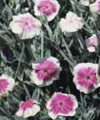 Angel Blush Lychnis coronaria