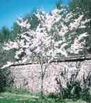 Higan weeping cherry tree prunus subhirtella pendula