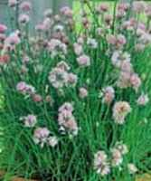 garlic chives allium tuberosum herb plant seed
