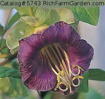 Violetta Cobaea scandens Purple Cup and Saucer Vine