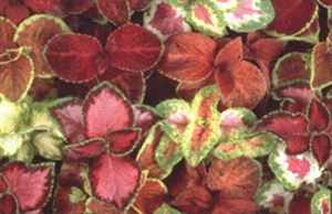 Wizard Mix Coleus hybridus Annual flower