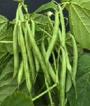 Derby Bush bean Snap bean pods
