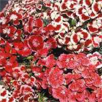 Sweet William mixed Dianthus barbatus