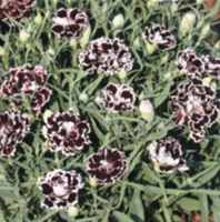 Black and White Velvet and Lace Dianthus chinensis
