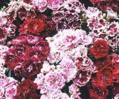 French Frills Dianthus barbatus