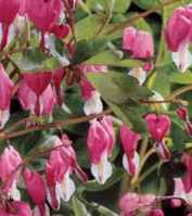 Old-Fashioned Bleeding Heart Dicentra spectibilis Perennial flower