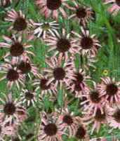 Tennessee Coneflower Echinacea tennesseensis