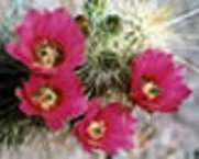 red flower of Echinocactus Hedgehog Mix seed