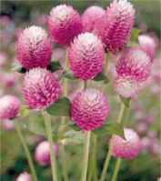 Bicolor Rose Gomphrena gobosa Annual flower