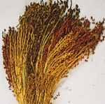 Sorghum colored grass