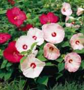 hibiscus moscheutos disco belle rose mallow seed