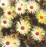 mesembryanthemum criniflorum apricot shimmer seeds and plants