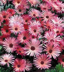 mesembryanthemum criniflorum gellato red