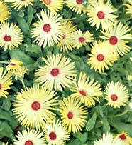 mesembryanthemum criniflorum gellato yellow