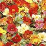 Calypso Mix Mimulus ringens Monkeyflower Annual