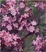 Victoria Pink Forget me not