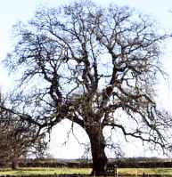 English Oak Quercus robur