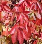 Parthenocissus quinquefolia Virginia Creeper American Ivy