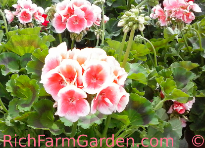 Apple Blossom Pelargonium honorum