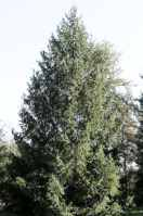 Norway Spruce Picea abies tree