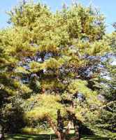 Japanese Red Pine Tree pinus densiflora