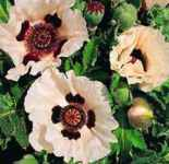 Checkers Poppy Papaver orientalis Perennial flower