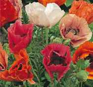 Pizzacato Poppy seed plant