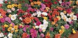Antique Double Mix Portulaca grandiflora Annual flower