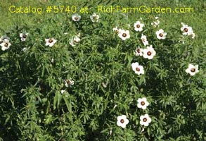 Kenaf Indian hemp Hibiscus cannabinus
