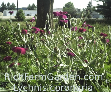 Lychnis coronaria Rose Campion Rose of Heaven Mullien Pink