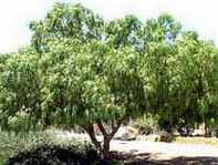 California Pepper Tree Schinus molle Anacahuita Mastic Tree Brazilian Pepper Tree