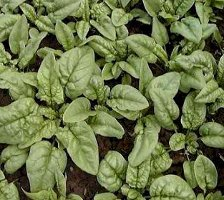 Bloomsdale Longstanding Heirloom Spinach plant seed