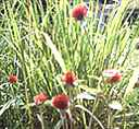 Strawberry Fields Lemon grass Gomphrena haageana Annual flower