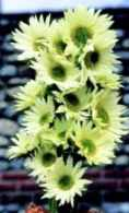 Jade sunflower Helianthus annuus